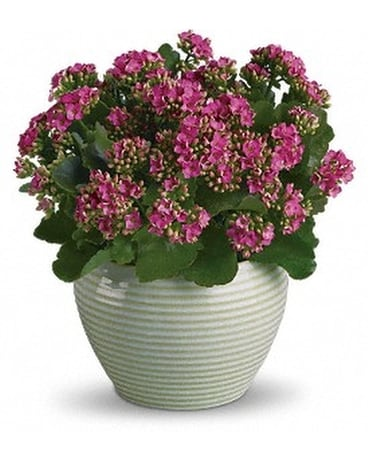 Bountiful Kalanchoe in Ceramic Plant