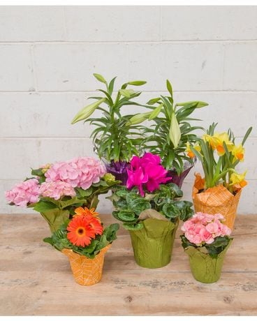 Blooming Plant Spring Box Specialty Arrangement
