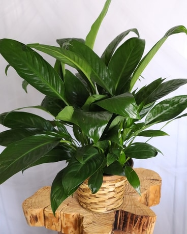 Peace Lily Plant on peace lily family plant, chinese evergreen house plant, droopy peace lily plant, funeral peace lily plant, peace lily potted plant, peace lily plant benefits, classic peace lily plant, black bamboo potted plant, white and green leaves house plant, croton house plant, peace plant brown leaves, dragon plant, holly house plant, zamiifolia house plant, problems with peace lily plant, weeping fig house plant, marginata house plant, artificial bamboo house plant, black gold lily plant, pineapple plant house plant,