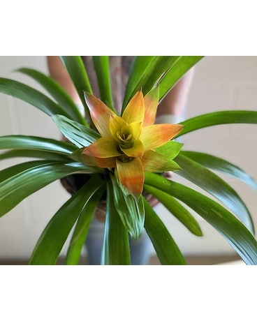 Bromeliad Ceramic Pot Plant