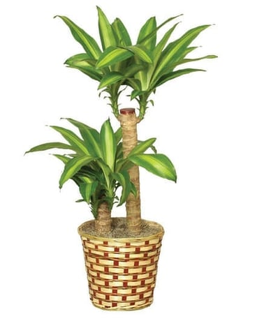 Single Stalk Corn Plant Plant
