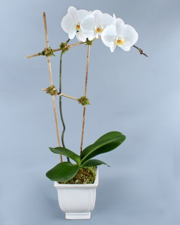 Single White Phalaenopsis in Bamboo