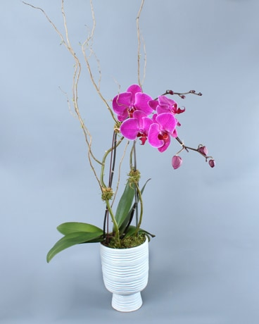 Large Pink Phalaenopsis in White Container