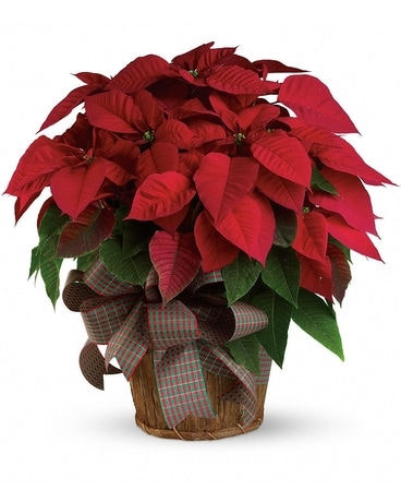 Large Red Poinsettia Flower Arrangement