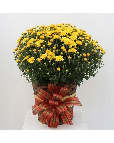 Hardy Mum Plant in basket with fall accents
