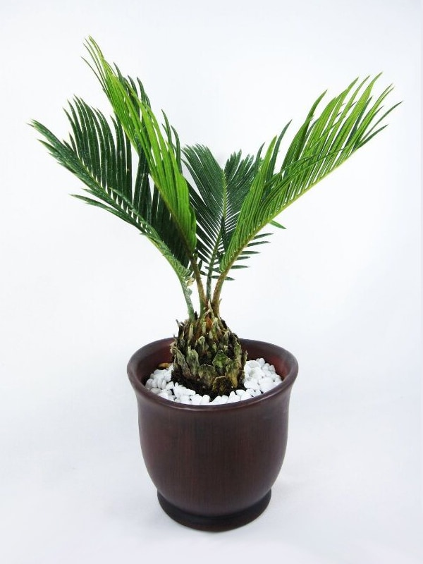 Miniature Date Palm