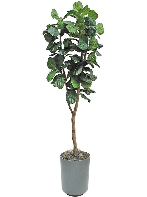 Fiddle Leaf Fig Ficus
