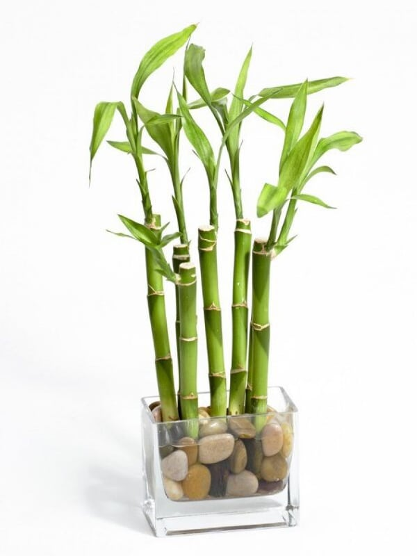 Plant Care - Lucky Bamboo