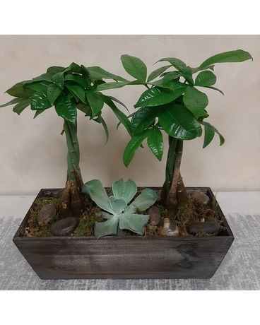 Money Tree in Ceramic Pot Plant