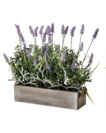 Large Lavender in Box