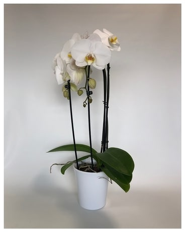 Waterfall Duet Plant