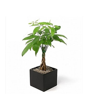 Money Tree in Wooden Box