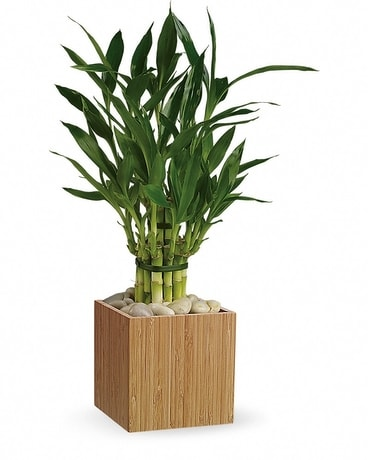 Teleflora's Good Luck Bamboo