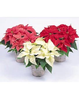 Poinsettias in Various Sizes & Colors Flower Arrangement
