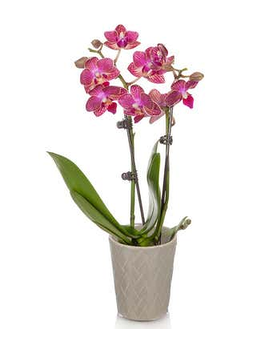 Orchid Plant Custom product