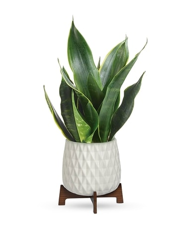 Teleflora's Growing Art Sansevieria Plant Flower Arrangement