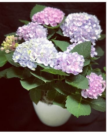 Hydrangeas of Hyannis Flower Arrangement