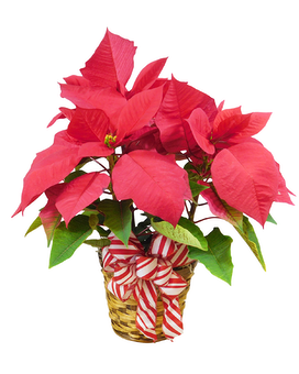 3 Bloom Poinsettia