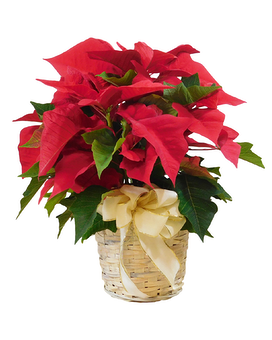 Holiday Special Poinsettia