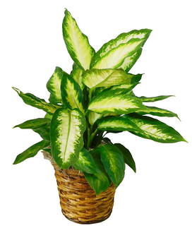Dieffenbachia Flower Arrangement