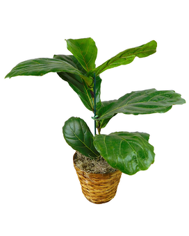 Fiddle Leaf Fig Plant Flower Arrangement