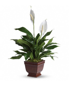Lovely One Spathiphyllum Plant Flower Arrangement