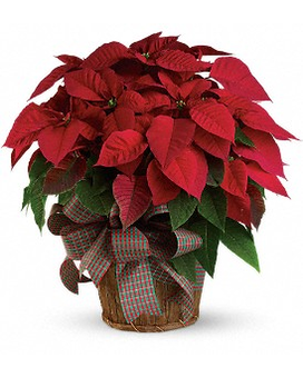 Extra Large Red Poinsettia Flower Arrangement
