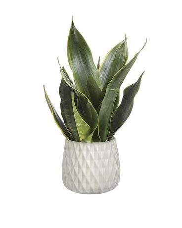 Growing Art Sansevieria Plant Flower Arrangement