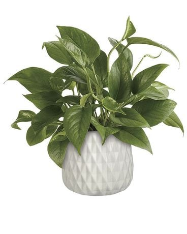 Lush Leaves Pothos Plant Flower Arrangement