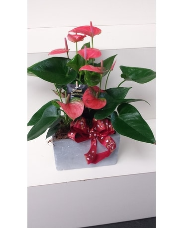 double anthurium Plant