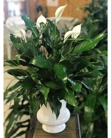Heavenly Rest Peace Lily Plant