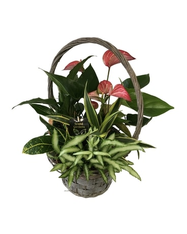 Large Anthurium Wicker Dish Garden Plant