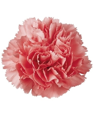 Dozen Carnations - Pink Flower Arrangement