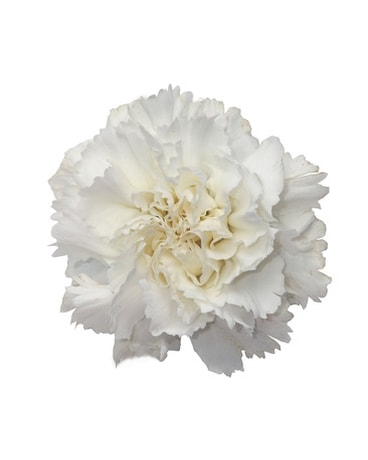 Dozen Carnations - White Flower Arrangement