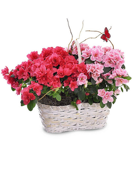 Azalea Blooming Basket Bouquet
