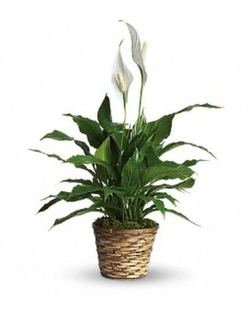 Simply Elegant Spathiphyllum - Small Flower Arrangement