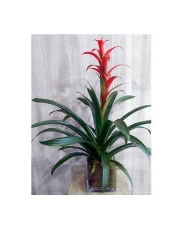 Bromeliad in Glass(P&S15885) Flower Arrangement