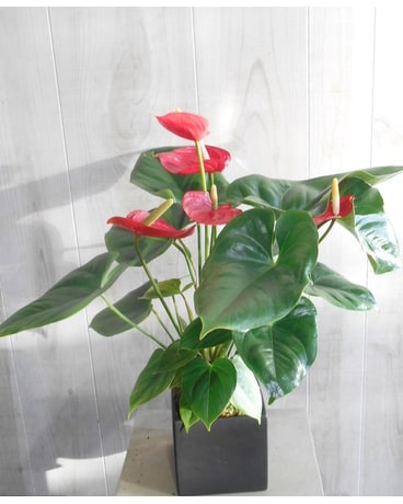 Anthurium Plant (P&S652) Flower Arrangement
