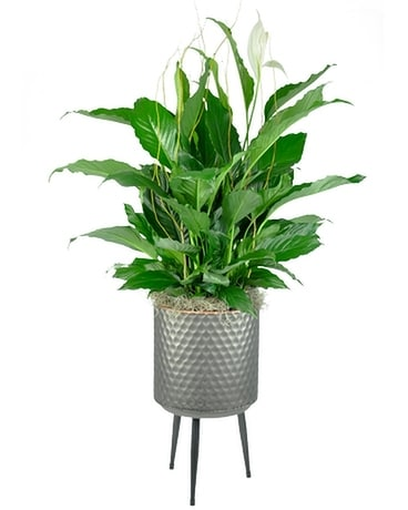 Spathiphyllum in Plant Stand Plant