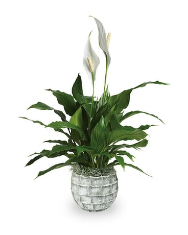 Spathiphyllum in Stone Flower Arrangement