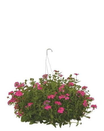 Assorted Hanging Baskets Plant