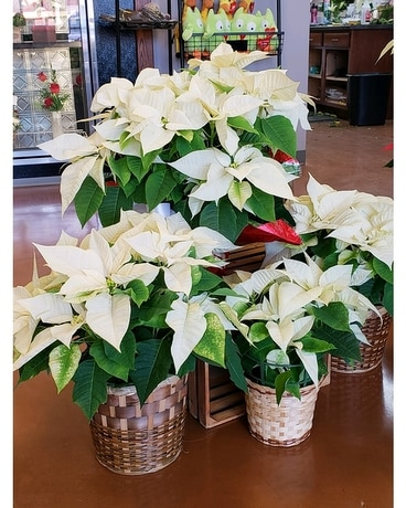 WHITE POINSETTIA Flower Arrangement