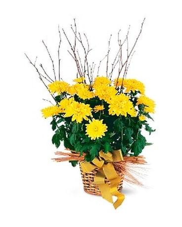 Yellow Hope Chrysanthemum In Beaumont Ca Oak Valley Florist