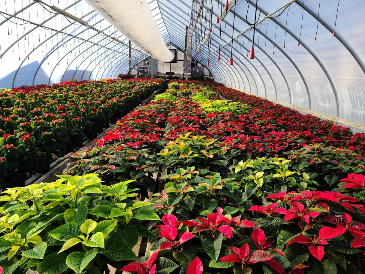 Red Poinsettia Grown in Boston