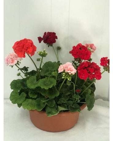 Geranium pot mixed colors Plant