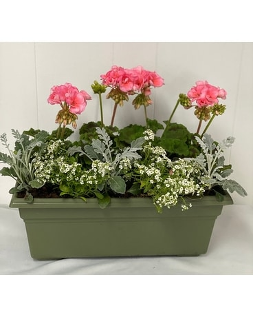 Geranium Window Box Plant