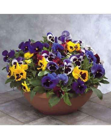 Pansy Bowl Colorful 10 Plant