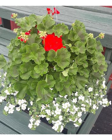Red Geranium with white Bacopa Plant
