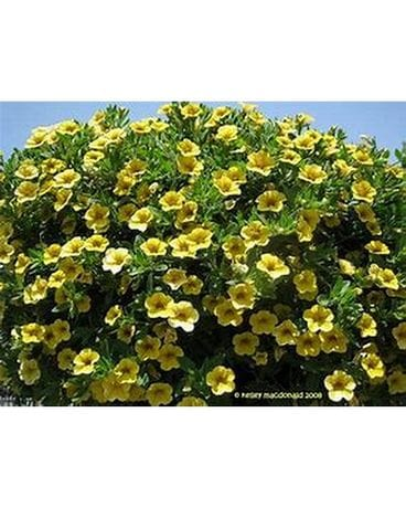 Yellow Million Bell Hanging Basket Flower Arrangement