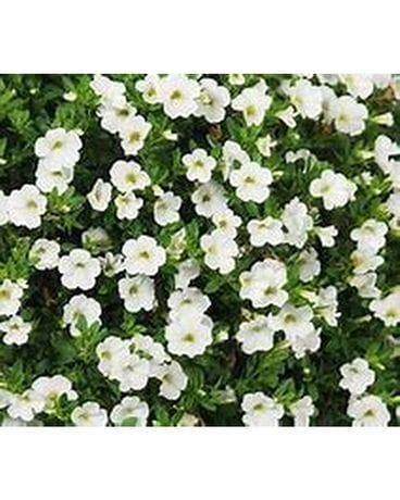 White Million Bell Hanging Basket Plant